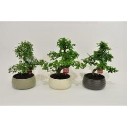 Bonsai forme-s-h35-p19-ceram