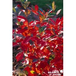 ARONIA arbutifolia...