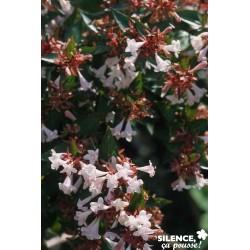 Abelia g.semperflorens...