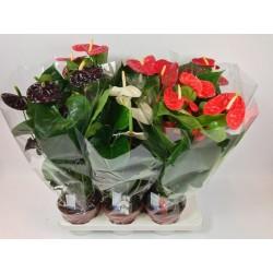 Anthurium andreanum 5-h60 -p17