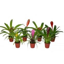 Bromelia mini-h20-p5.5