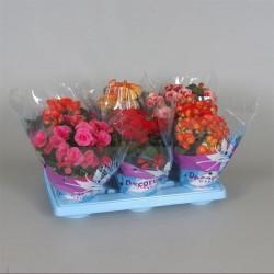 Begonia elatior h32-p12