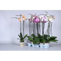 Phalaenopsis grandiflora...