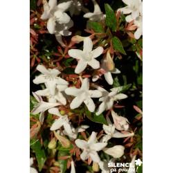 Abelia grandiflora sherwood...