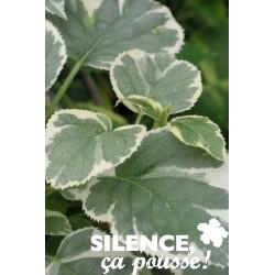 Hydrangea petiolaris silver...