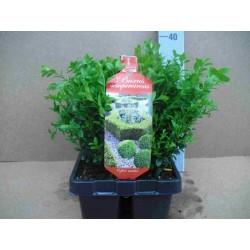 Buxus sempervirens tfe-h20-brq