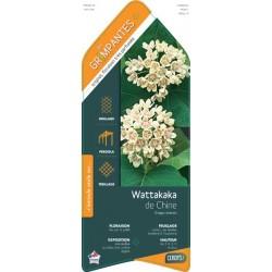 Dregea sinensis c3l