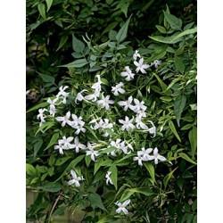 Jasminum officinale c3l