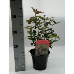 Hypericum inodorum mag.red...