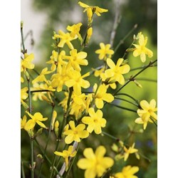 Jasminum nudiflorum...